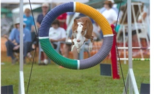 Noah -- First AXJ and only AD titles for Ibizan Hound. 3/31/97-4/2/08 Bramblewood's In The Know CD, RN, OA, AXJ, AD, NJC, CGC, TT, therapy dog, 2007 -- Alanna Lowry