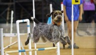 Romeo; Beginner Novice Obedience, Rally Excellent, Agility Excellent, Master Excellent Jumpers With Weaves, Excellent Fast; Susan McKeever